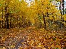 Forest road strewn with fallen yellow leaves royalty free stock photo
