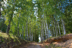 Forest road in summer birch grove Stock Photos