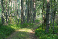 Forest Road in the summer forest. The forest road leads into the thicket of summer forest Royalty Free Stock Images