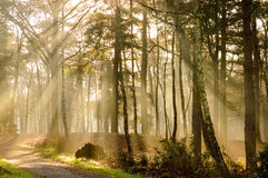Forest road sunrays. Sunrays on a forest road and autumn colored trees Royalty Free Stock Photography