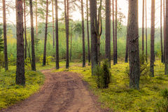 Forest road at sunrise. Road through forest at dawn Stock Photography