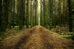 Forest road through a swedish forest. A dirt road through a swedish spruce forest in the swedish rural landscapes Royalty Free Stock Photos
