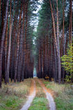 Forest road among the tall pines Stock Photography