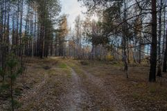 Forest road to the birch grove under the blue sky. On a walk. On an autumn sunny day Royalty Free Stock Photo