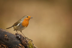 Forest robin Stock Photography