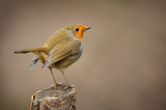 Forest robin on dead branch Royalty Free Stock Photo