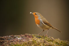 Forest robin with fat Royalty Free Stock Image