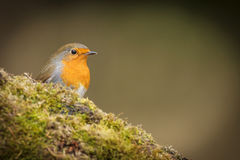 Forest robin on green Stock Photos