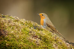 Forest robin Royalty Free Stock Photo