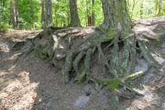 Forest roots Royalty Free Stock Photography
