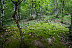 Forest. Russian forest near sochi with nice musk floor Stock Photography