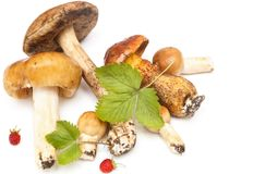 Forest`s mushrooms Royalty Free Stock Photos