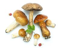 Forest`s mushrooms Royalty Free Stock Images