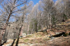 Forest in Saas-Almagell. The Alps, Switzerland. Royalty Free Stock Image