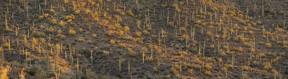 Forest of saguaro cacti, arizona Royalty Free Stock Images