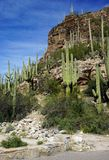 Saguaro cactus growing in a rocky desert canyon on a sunny day with blue sky overhead. A forest of saguaro cactus line the rocky hillside of a desert canyon in royalty free stock photos