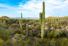 A forest of Saguaro Cactus in Saguaro National Park stock photo