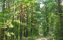 Forest road on a summer day Stock Images