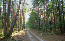 Forest road on a summer day Royalty Free Stock Photo