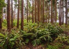 Forest on Santa Maria Island