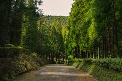 Forest in Sao Miguel, Azores, Portugal. Tall trees stock photography