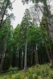 Forest in Sao Miguel, Azores, Portugal. Tall trees royalty free stock photos