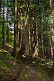 Forest in Sao Miguel, Azores, Portugal. Tall trees stock images