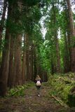 Forest in Sao Miguel, Azores, Portugal. Tall trees stock photo