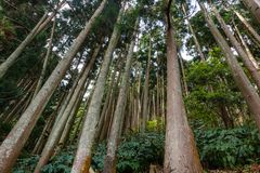 Forest in Sao Miguel, Azores, Portugal. Tall trees. royalty free stock photo