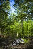 Forest scene. Green young forest with blue sky Stock Photo