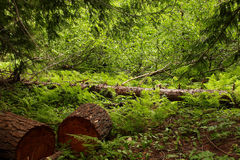 Forest Scene. With cut logs, ferns and trees stock photos