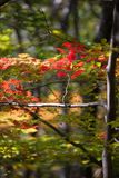 Forest scene, color, vertical thin tree and horizontal branch with red autumn leaves Stock Photos