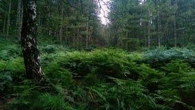 Forest Scene. Dense forest scene.  Birch, pine and ferns Stock Photos