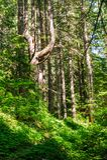 Forest near Mount Rainier`s Box Canyon Royalty Free Stock Photography