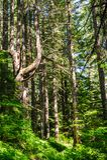 Forest near Mount Rainier`s Box Canyon Royalty Free Stock Photo