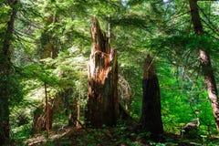 Forest near Mount Rainier`s Box Canyon Stock Photos