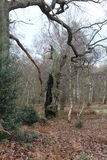Forest Scene. Old oak trees in winter with holly bush Royalty Free Stock Photo
