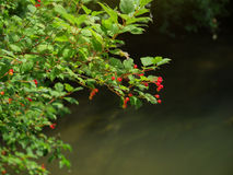 Forest scene with plant above the water and fruits Stock Image