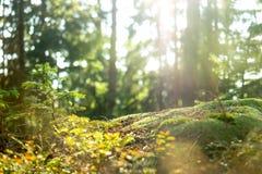 Forest Scene tranquilo calmo Fotos de Stock Royalty Free