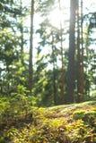 Forest Scene tranquilo calmo Imagens de Stock Royalty Free