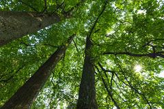Forest scene; trunks and canopy of three large, tall deciduous t Stock Photo