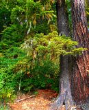 Lakeside Woodland. Forest scene by Tule Lake - Cascade Range - near Marion Forks, OR Stock Photos