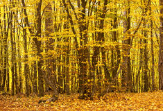 Forest scenery. Autumn forest scenery with yellow trees Stock Photo