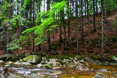 Forest scenery. In Krkonoše mountains, Czech Republic. An exclusive photo for using in newspapers, website etc. 7th July 2015 Royalty Free Stock Photography