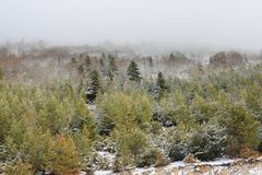 Pyrenean Forest of Scots pine. Forest of Scots pine in Pyrenees, Pinus sylvestris Royalty Free Stock Photos