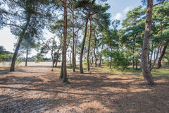 Forest of Scots Pine trees in summertime Stock Photo
