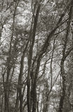Forest in sepia tone. La Palma. Spain Stock Photography