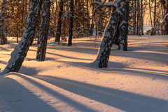 Forest shadows birch trunks winter sunset. Beautiful natural view with the trunks of birch trees in snowdrifts, sunlight and shadows on the snow in the winter Stock Photography