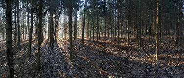 Forest shadows panorama Royalty Free Stock Photo