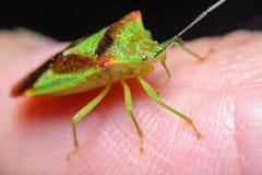 Forest Shield fel Oncacontias vittatus Fotografering för Bildbyråer